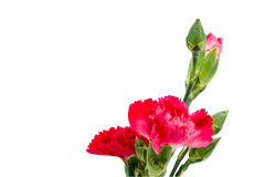 Close up Red carnation in vase Stock Photography