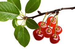 Close up of red cherry branch Royalty Free Stock Images