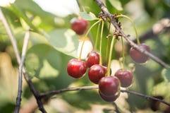 Close up red cherry grow on tree Stock Photos