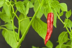 Close Up Red chili peppers on the tree. Domestic cultivation extra hot chilli burn. Growing chili peppers. Spicy seasoning food. Royalty Free Stock Images