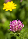 Close-up of red clover Stock Image