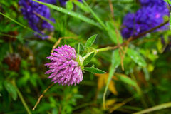 Close-up of Red Clover Trifolium pratense in natural setting. Nice background with clovers and dew drops on the grass Stock Images