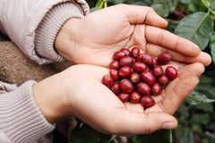 Close up red coffee beans Royalty Free Stock Photography