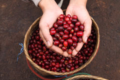 Close up red coffee beans on agriculturist hand. Royalty Free Stock Photography
