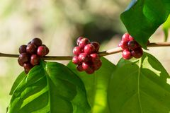 Close up of Red Coffee Beans on coffee tree branch. Raw Coffee Cherries for Agriculture Royalty Free Stock Images