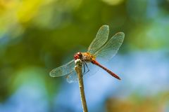 Closeup of a red male Ruddy darter Sympetrum sanguineum resting in sunlight in a meadow. Close-up of a red colored male ruddy darter Sympetrum sanguineum hanging stock photos