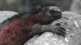 Close up of a red colored marine iguana at isla espanola in the galapagos. Islands, ecuador stock video footage