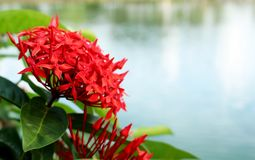 Ixora Red colors of spike flower. King Ixora blooming Ixora chinensis. Stock Photos