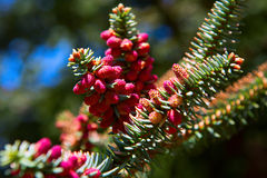 Close up of red cones on spanish fir tree branch Royalty Free Stock Photo