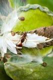 Red cotton bug dysdercus cingulatus on green leaves Stock Photo