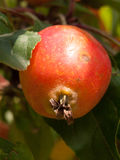 Close up of red crab apple macro on tree Malus sylvestris Royalty Free Stock Photography