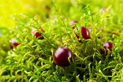 Close-up of red cranberry and green moss in the forest. Bright sunlight Royalty Free Stock Image
