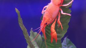 Close up of red crayfish on leaf aquatic plant.  stock video