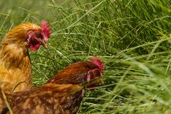 Free chickens in organic egg farm walking on green grass stock images