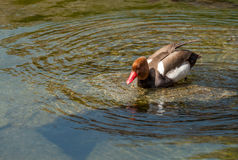 Red Crested Pochard swimming Stock Photography