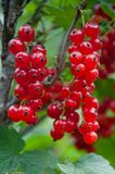 Close-up of a red currant Stock Photos