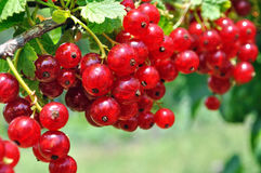 Close-up of a  red currant Royalty Free Stock Images