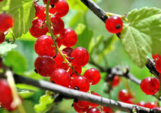 Close-up of a  red currant Stock Photo