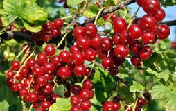 Close-up of a  red currant Royalty Free Stock Image