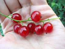 Close up of red currant twig on a palm. Stock Photography