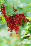 Close up red currants Stock Images