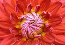 Close-up red dahlia in bloom. In a Japanese garden near Tokyo Royalty Free Stock Photography
