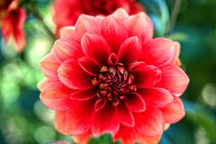 Close-up of red dahlia Royalty Free Stock Images