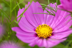 Close-up red daisy and blur green background. Stock Image