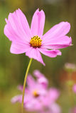 Close-up red daisy and blur green background. Royalty Free Stock Photography