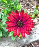 Close up of red Daisy flower Stock Photography
