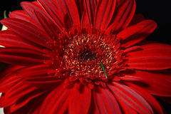 Close up of red daisy gerbera flower on black background. Lights Royalty Free Stock Photos
