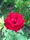 Red damask rose flower in nature garden. Close up red damask rose flower in nature garden Royalty Free Stock Photo