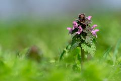 Close up of red dead-nettle Lamium purpureum. With green blurred background royalty free stock image