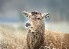 Close-up of a Red deer having recently shed his antlers. In winter, UK stock images