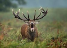 Close-up of a Red deer roaring. During rut in autumn, UK royalty free stock photo
