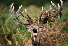 Close up of a red deer stag bellowing. With ferns draped around its antlers during rutting season, UK Stock Photography