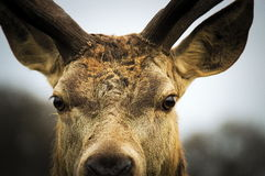 Close up of red deer stag Royalty Free Stock Photos