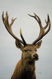 Close up of red deer stag stock photo