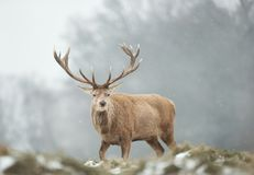 Close-up of a red deer stag in the falling snow royalty free stock images