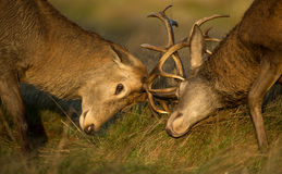 Close-up of Red deer stag fight Royalty Free Stock Image