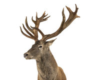 Close-up of a Red deer stag. In front of a white background stock photography