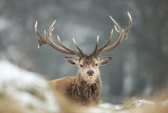 Close up of a Red deer stag lying on a snow. In winter, UK Royalty Free Stock Images