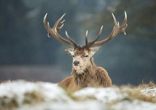 Close up of a Red deer stag lying on a snow. In winter, UK Stock Photography
