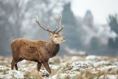 Close up of a Red deer stag in winter. Close up of a Red deer stag standing on a snowy grass in winter, UK Stock Photo
