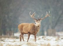 Close up of a Red deer stag in winter. Close up of a Red deer stag standing on a snowy grass in winter, UK Stock Images