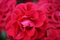 Close up of a red double roses. Close-up of double red petals Roses with on the background of blossoming inflorescences Stock Photos