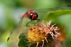 Close-up of a red dragonfly. Stock Photos