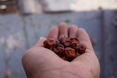 Close Up of Red dried jujube in hand also known as Chinese date, ber, Chinee apple, jujube, Indian plum, Regi pandu, Indian jujube