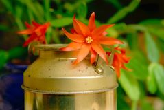 Easter Cactus flower close up. Close up of red easter Cactus flower resting on a small ornamental churn Stock Images