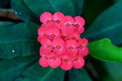 Close up red euphorbia Stock Photos